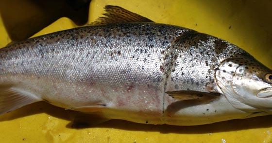 North Canterbury Fish and Game Fishing Report-nzfishing